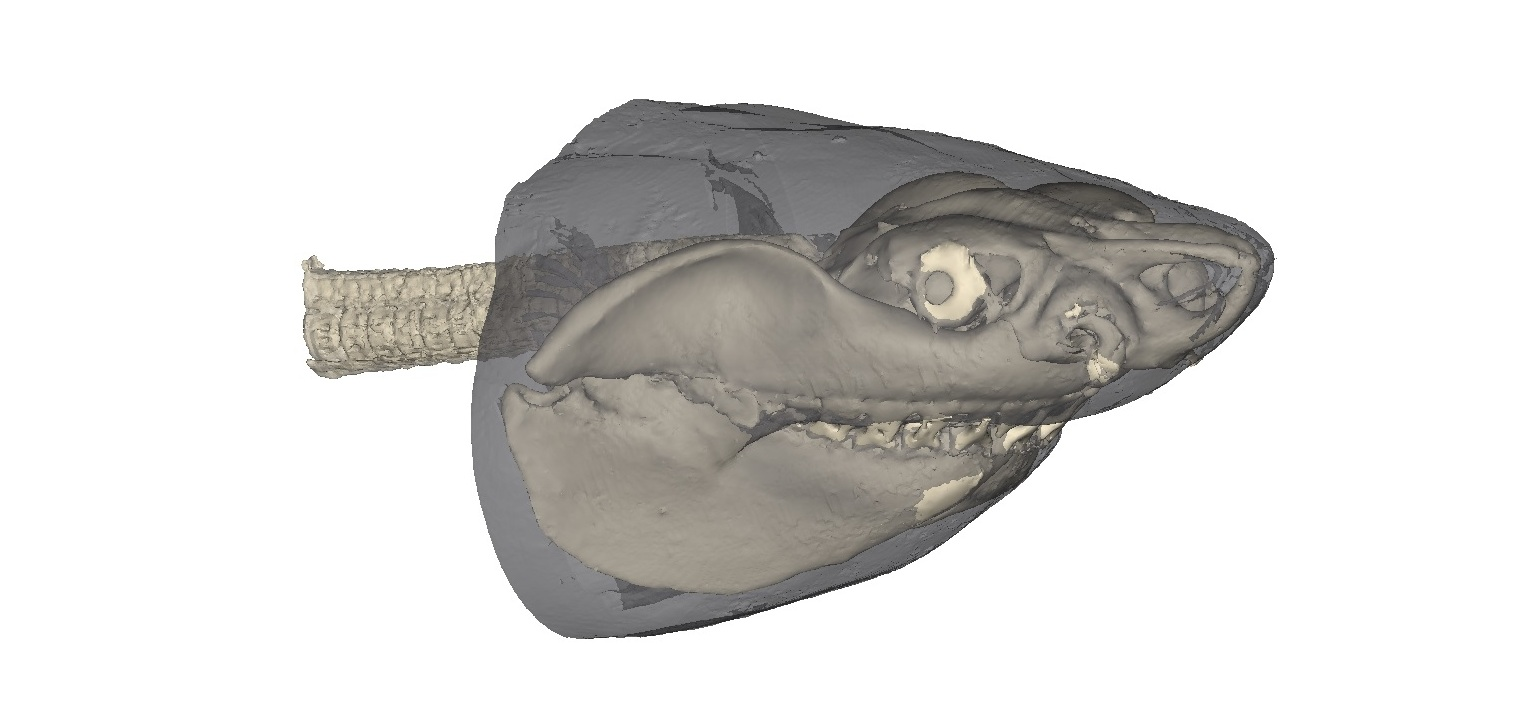 What Do Ancient Shark Fossils Tell Us about Jaw Evolution?