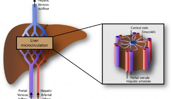 Unraveling the Complexity of Liver Blood Circulation