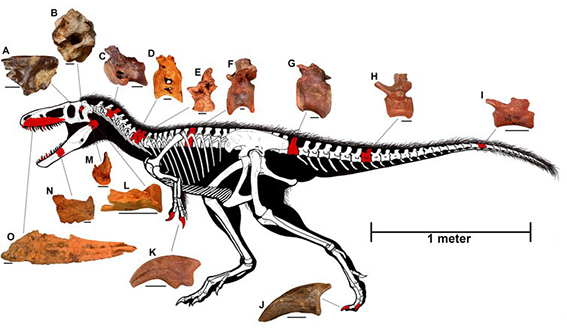 Discovering the Missing Pieces of the Tyrannosaurus Rex